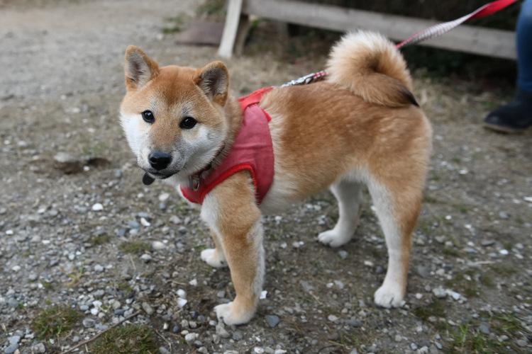 柴犬陽ちゃんの写真