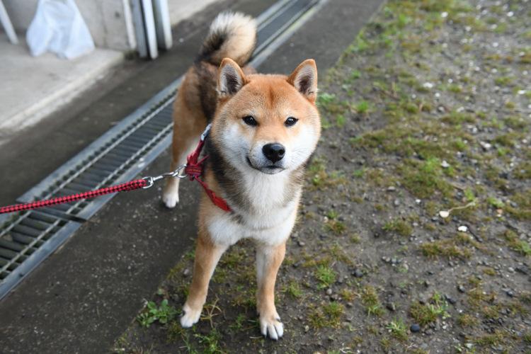 柴犬ムサシ君の写真