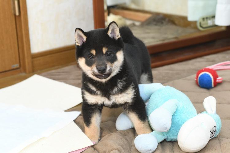 ぬいぐるみで遊ぶ黒柴の子犬の写真