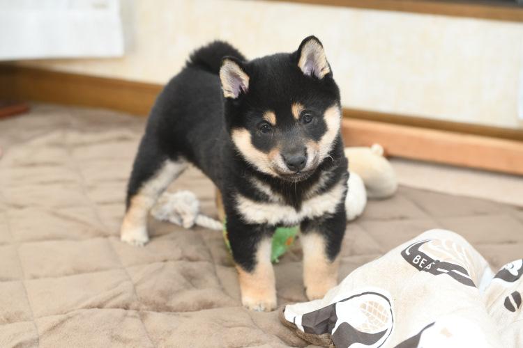 可愛い黒柴の子犬の写真