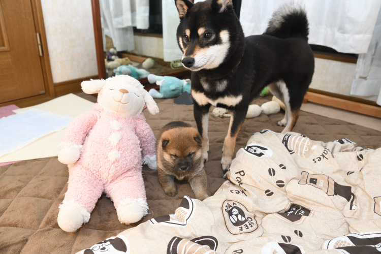 黒柴唯ちゃんと子犬