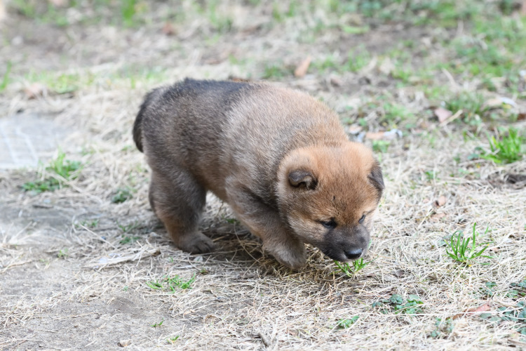 生後32日目の柴犬の子犬の写真です。