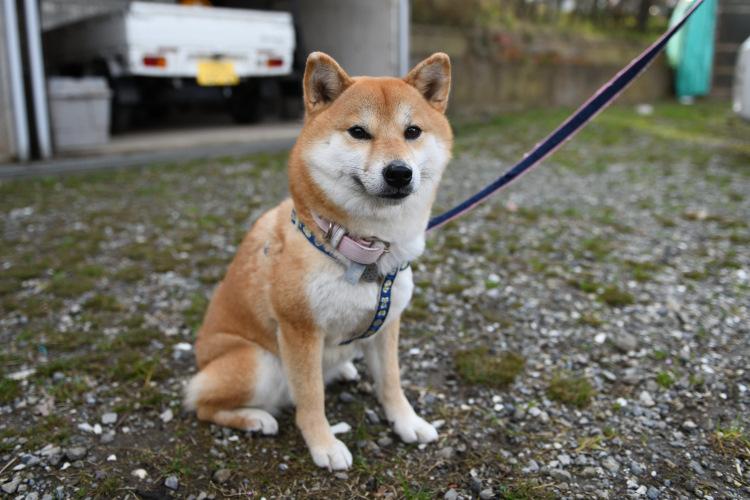 柴犬小町ちゃんの写真
