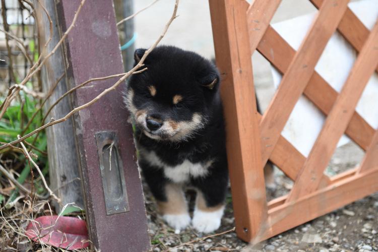黒柴の子犬の写真