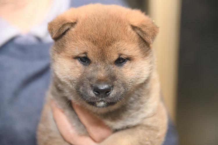 生後38日目の柴犬オスの子犬の写真