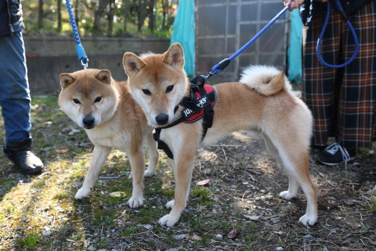 柴犬源太君と息子のきなこ君の写真