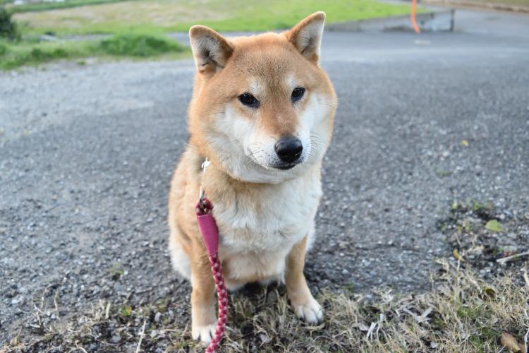 柴犬美晴姫の写真