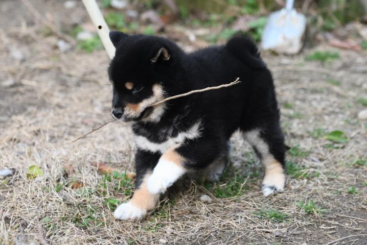 黒柴メスの子犬の写真です。