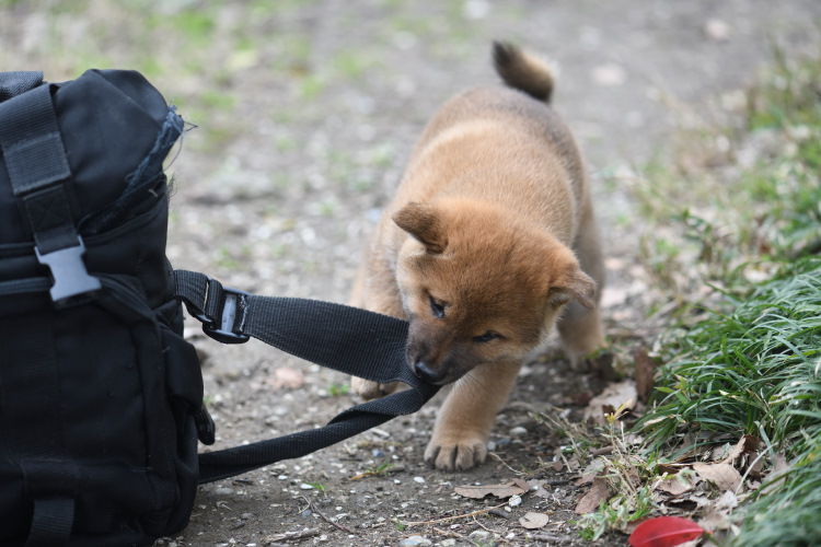 カメラバッグをぐいぐいと引っ張る柴犬の子犬