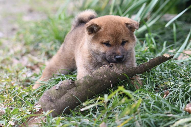木の皮で遊ぶ柴犬の子犬です。