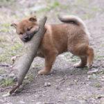 子犬動画もあります✨柴犬オスの子犬は50日目です♪【黒柴唯ちゃんの子】