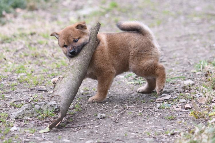 木の皮を運ぶ柴犬の子犬。