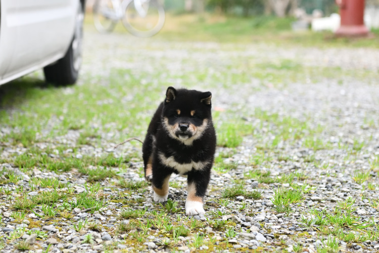 黒柴マリモちゃんの写真