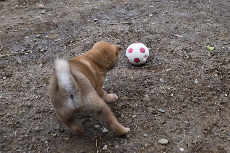 ボールを怖がる赤柴てつ君