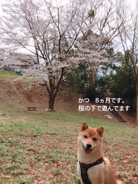 柴犬カツ君の写真