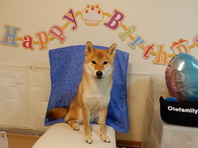 柴犬ポッケ君1歳のお誕生日
