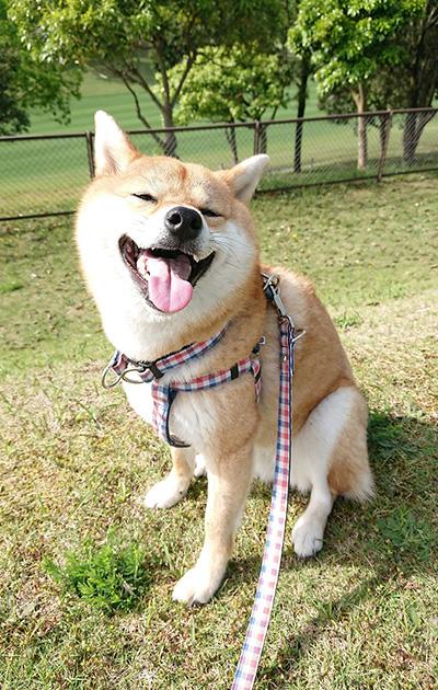 自粛中の柴犬柚子ちゃん
