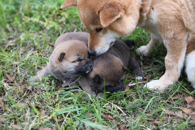 外遊び開始の柴犬の子犬たちです。