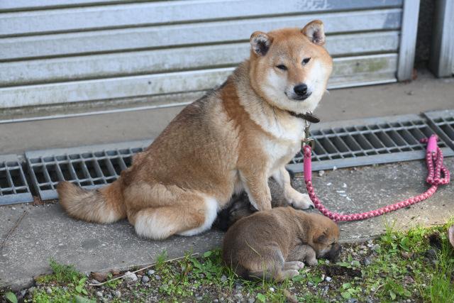 柴犬の子育て