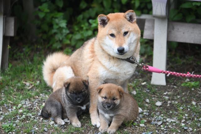柴犬の子犬と母親犬
