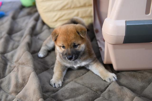 生後36日目の柴犬の子犬