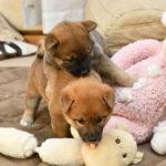 柴犬の子犬は38日目です♪【赤柴美春姫の子】
