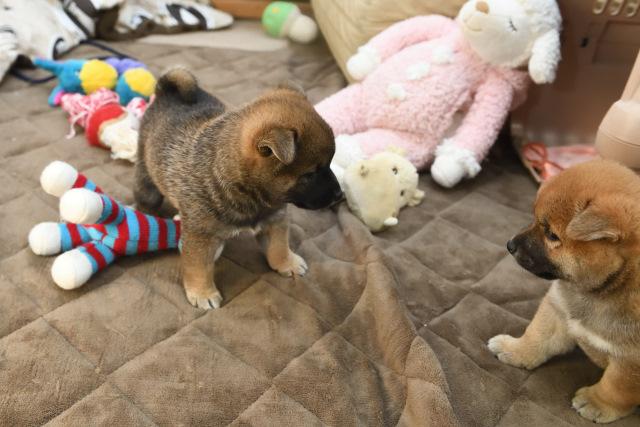 生後38日目の柴犬の子犬