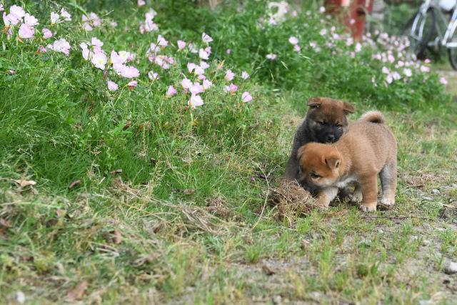 生後40日の柴犬の子犬