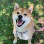 柴犬キンちゃん(♂)から4歳のお誕生日のお知らせ♪【赤柴紅茜の子】