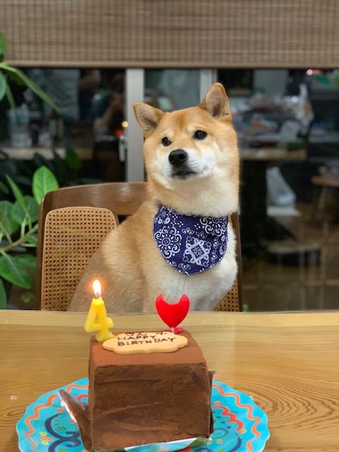 4歳のお誕生日の柴犬キンちゃん