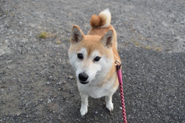 柴犬美里の写真