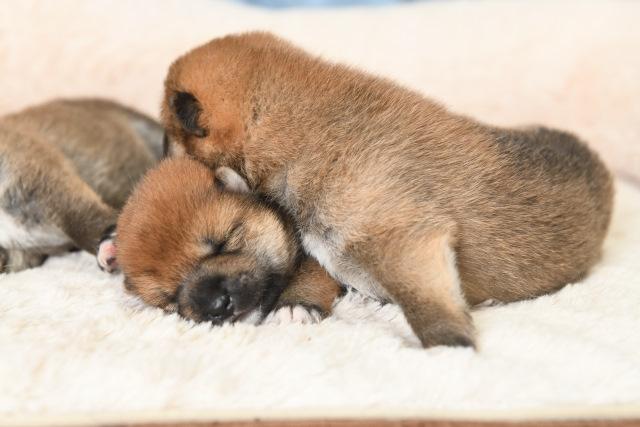 生後9日目の柴犬の子犬たち