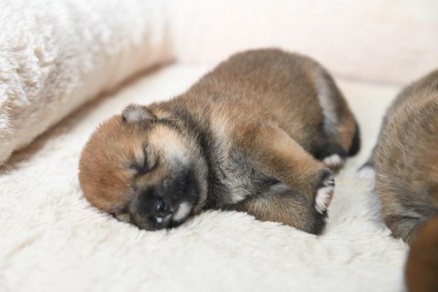 生後11日目の柴犬の子犬たちの写真