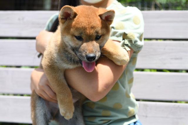 柴犬タロ君の写真