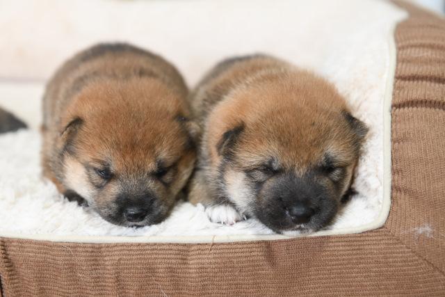 生後18日目の柴犬の子犬たちの写真