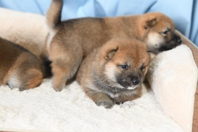 生後24日目の柴犬の子犬たちの写真