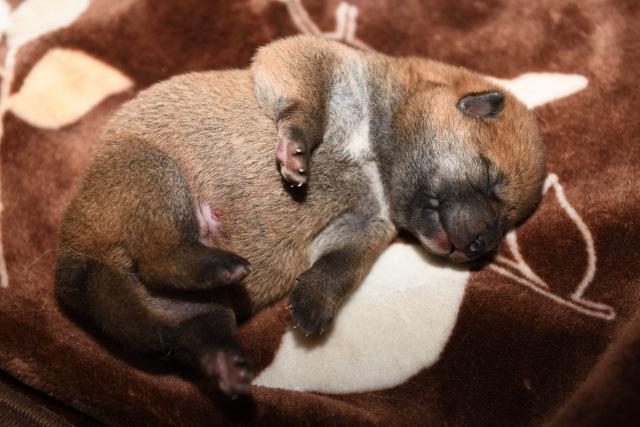 生後7日目の柴犬オスの子犬の写真