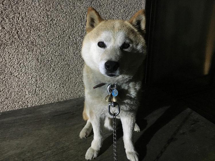 来月13歳の柴犬あお君の写真