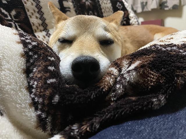 柴犬さくらちゃん3歳