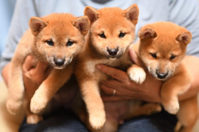 ワクチン接種を受けてきた柴犬の子犬たちの写真。