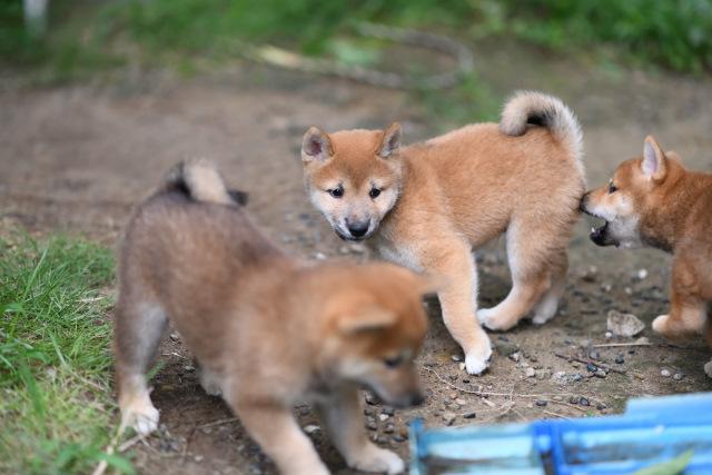 ワクチン接種後の柴犬の子犬たちの写真