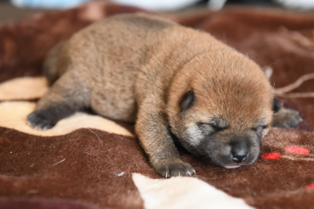 生後10日目の柴犬オスの子犬の写真