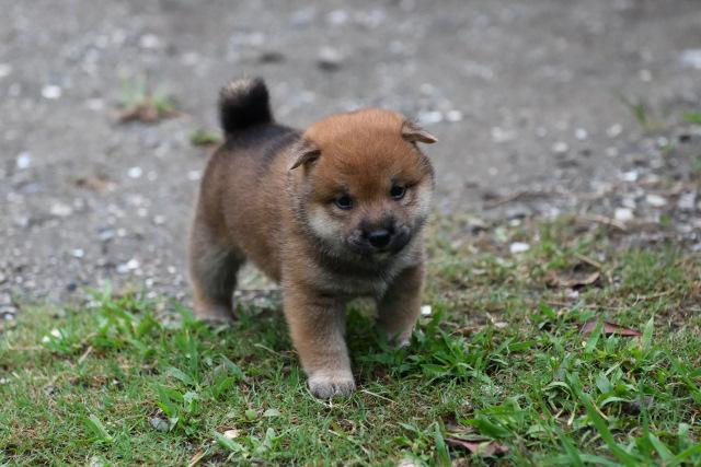 生後29日目の柴犬の子犬の写真