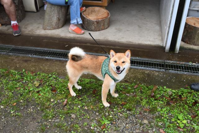 柴犬カツ君1歳のお誕生日の写真