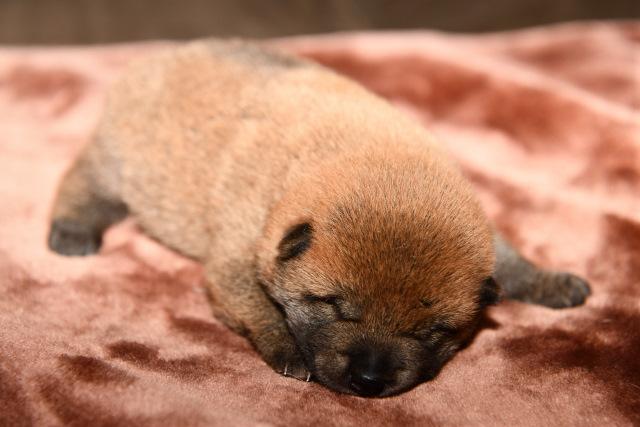 生後15日目の柴犬の子犬