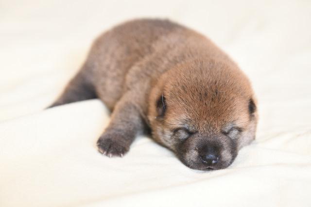 生後18日目の柴犬オスの子犬の写真