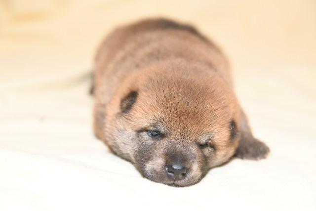 柴犬の子犬の目が開きました。