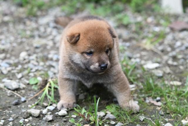 柴犬かりんと子犬の写真