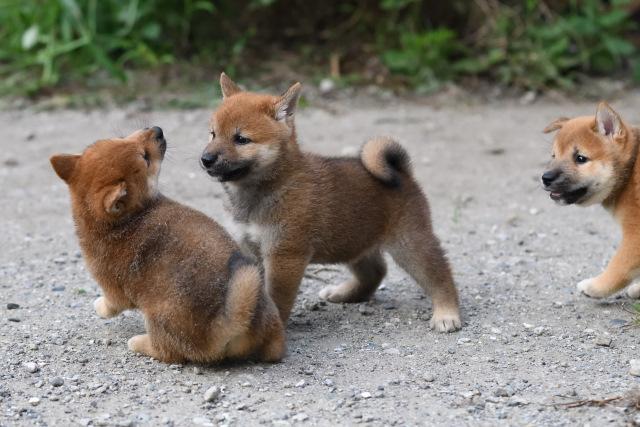 生後46日目の柴犬の子犬たちの写真