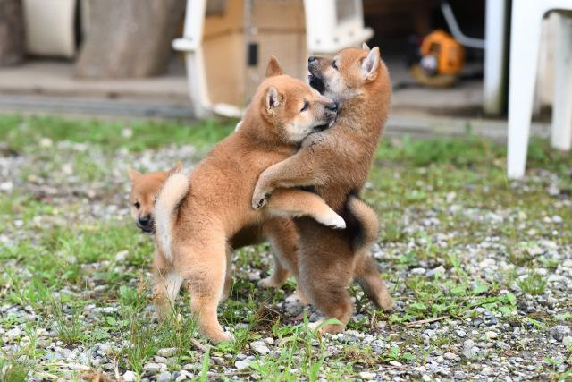 柴犬の子犬たちの写真